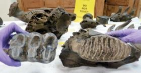 Mastodon, More Mammoths Found